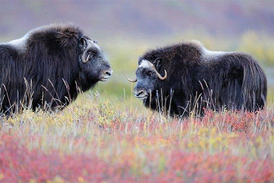חוקרים את מזרח גרינלנד