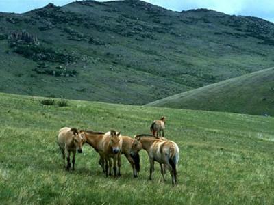 סוס פרא מונגולי טאחי (Takhi), מונגוליה
