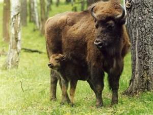 בלארוס, הפארק הלאומי בֶּלַבֶּזְ