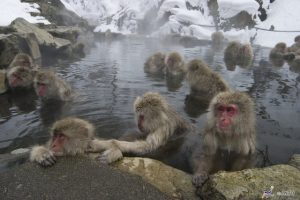 """קופי השלג"" (Snow Monkeys), יפן"