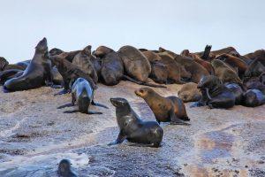 כלבי הים עיירה האטביי (Hout Bay), טיול לדרום אפריקה