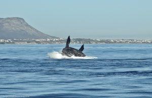 קפיצת לוויתן בהרמנוס (Hermanus), דרום אפריקה